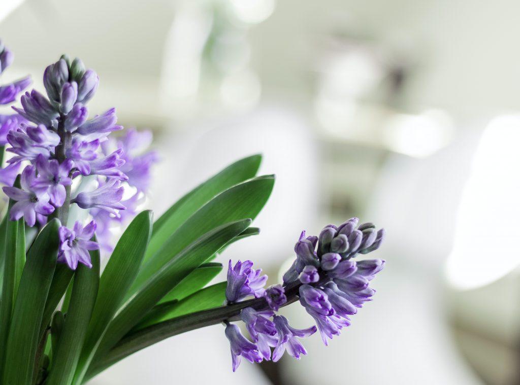 Догляд за гіацинтом після цвітіння