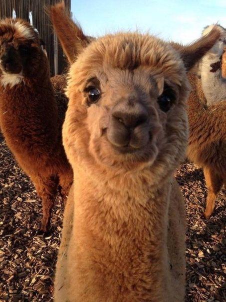шпалери з тваринами лама