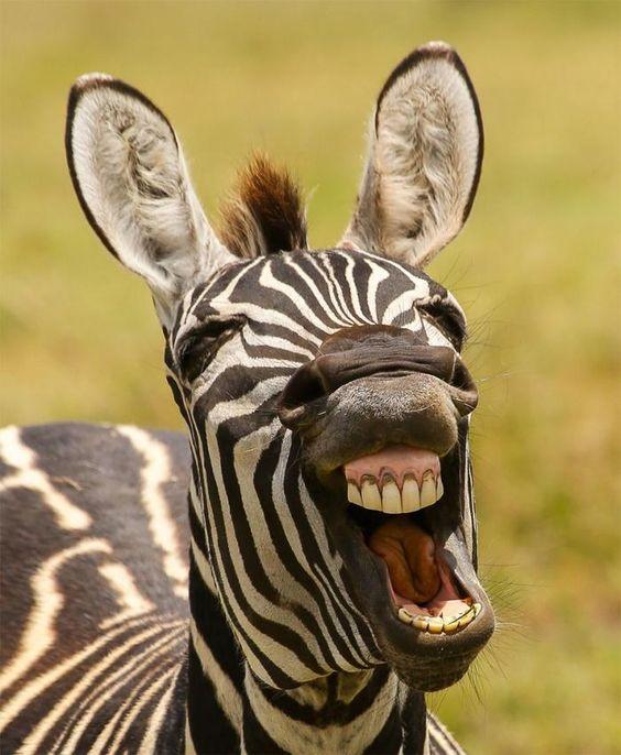 зебра картинки